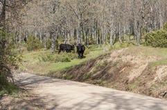 Vacas negras Foto de archivo libre de regalías