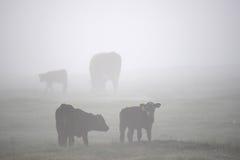 Vacas negras de Angus en campo de niebla Foto de archivo