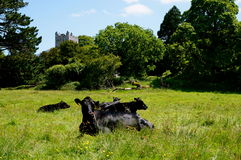 Vacas negras en abadía de los muckross de Killarney Imagen de archivo libre de regalías