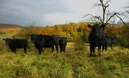 Vacas negras en campo Foto de archivo libre de regalías