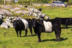 Vacas negras en Noruega Imagen de archivo libre de regalías