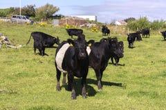 Vacas negras en Noruega Fotografía de archivo