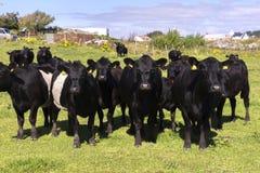 Vacas negras en Noruega Fotos de archivo libres de regalías
