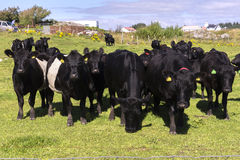 Vacas negras en Noruega Fotografía de archivo libre de regalías