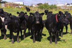 Vacas negras en Noruega Imágenes de archivo libres de regalías