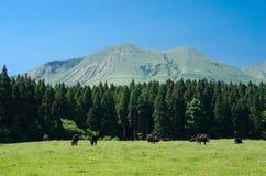 Vacas negras en un pasto Fotografía de archivo libre de regalías
