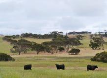 Vacas negras en un prado Imagen de archivo