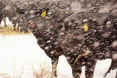 Vacas negras en una tormenta de la nieve Fotos de archivo