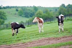 Vacas negras-flecked y rojas-flecked del becerro de la raza tres en un prado verde en la madrugada Imagen de archivo