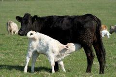 Vacas negras o blancas Imagen de archivo libre de regalías