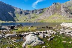 Vacas negras por el lago en montañas, Llyn Idwal el Devil's Kitche Foto de archivo libre de regalías