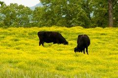 Vacas negras que escogen en flores amarillas Foto de archivo libre de regalías