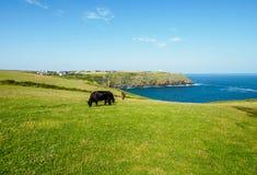Vacas negras que hojean en un prado verde cerca del mar Foto de archivo