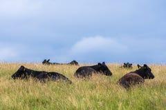 Vacas negras que mienten en hierba larga Imagenes de archivo