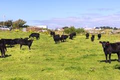 Vacas negras que pastan en Haugesund Foto de archivo