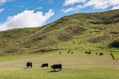 Vacas negras que pastan en la ladera Imagen de archivo libre de regalías