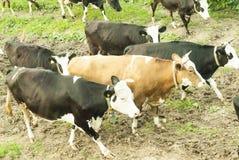 Vacas negras y marrones en un prado en Rusia Foto de archivo