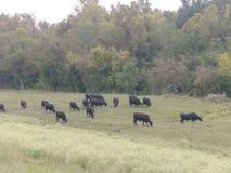 Vacas no Atchafalaya fotografia de stock royalty free