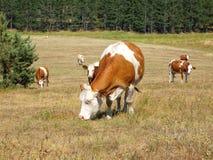 Vacas no campo fotografia de stock royalty free
