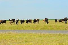 Vacas no campo Imagem de Stock