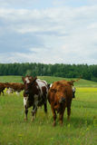 Vacas no campo Imagens de Stock Royalty Free