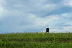 Vacas no campo Fotos de Stock Royalty Free