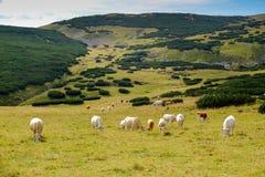 Vacas no campo em Áustria Fotografia de Stock Royalty Free