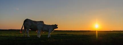 Vacas no crepúsculo fotografia de stock