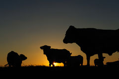 Vacas no crepúsculo imagem de stock