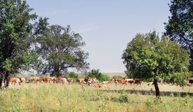 Vacas no dia de verão da paisagem do campo imagem de stock royalty free