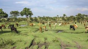 Vacas no Masai Mara National Park imagem de stock