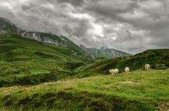 Vacas no monte fotografia de stock