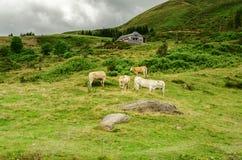 Vacas no monte Fotos de Stock