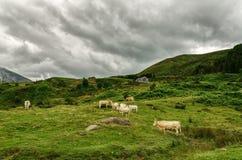 Vacas no monte imagem de stock