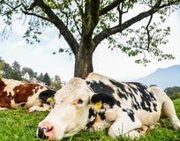 Vacas no monte da grama em Suíça foto de stock