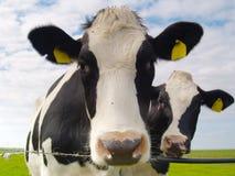 Vacas no pasto Foto de Stock Royalty Free
