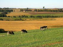 Vacas no pasto fotos de stock