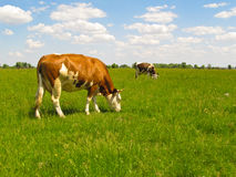 Vacas no pasto. Imagens de Stock Royalty Free