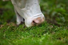 Vacas no pasto alpino Imagem de Stock