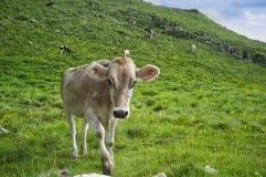Vacas no pasto da mola Fotografia de Stock Royalty Free