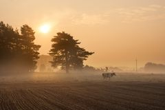 Vacas no pasto enevoado no nascer do sol Foto de Stock Royalty Free