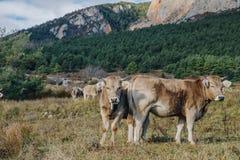 Vacas no pasto nas montanhas fotografia de stock royalty free