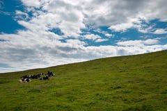 Vacas no pasto no dia bonito foto de stock