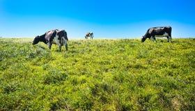 Vacas no pasto no litoral Califórnia do nashinal de Reyes do ponto fotografia de stock