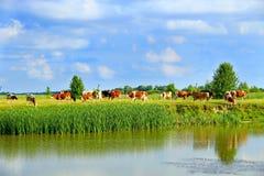 Vacas no pasto perto do lago Paisagem bonita do verão Fotos de Stock Royalty Free