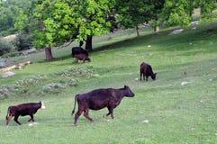 Vacas no prado fotos de stock
