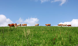 Vacas no prado Foto de Stock