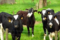 Vacas no prado. imagens de stock royalty free