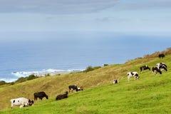 Vacas no prado sobre o oceano Fotografia de Stock Royalty Free