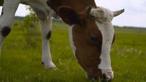 Vacas no prado verde Composi??o da natureza vacas em uma terra 4K video estoque